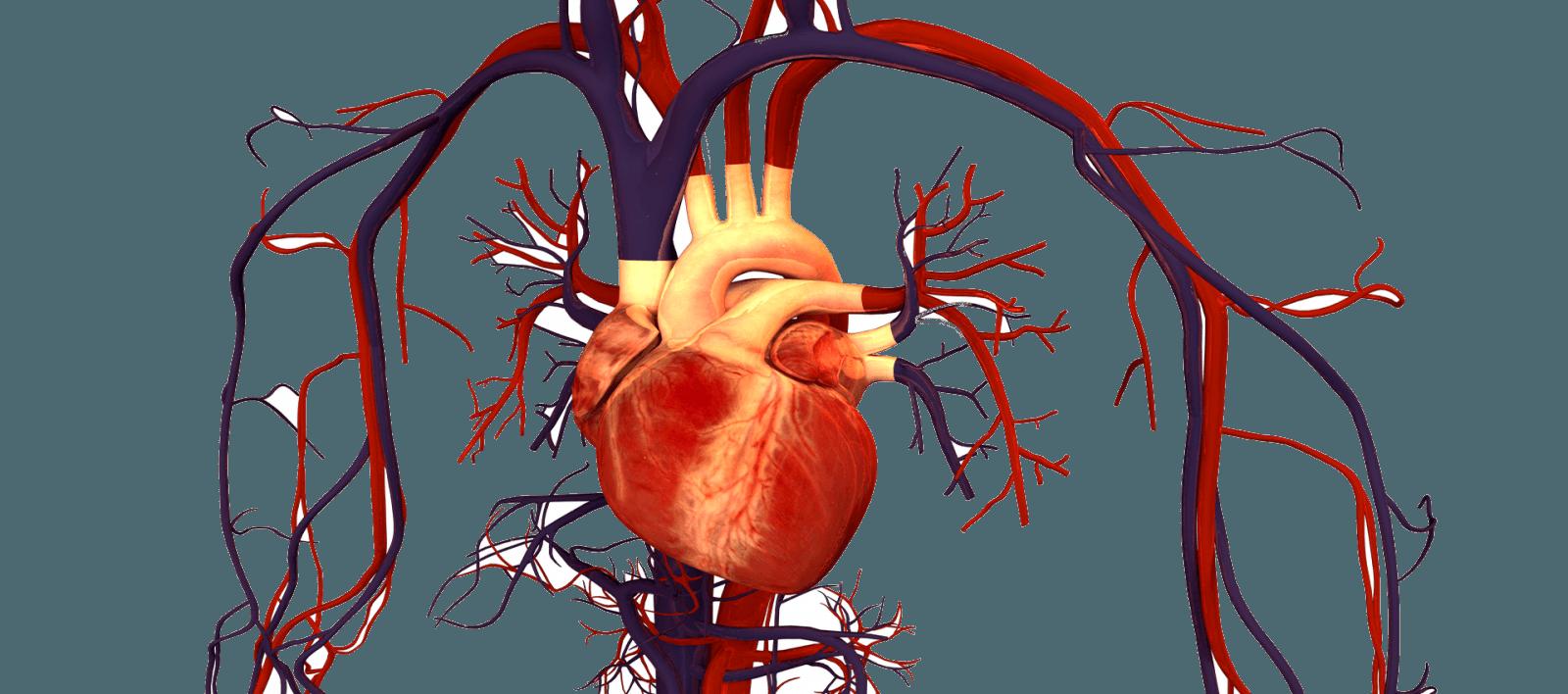 circulatory system silder